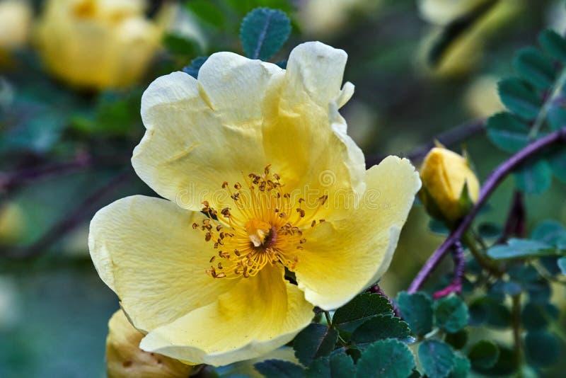 O amarelo bonito, florescendo aumentou mola ondulada em um garde fotografia de stock