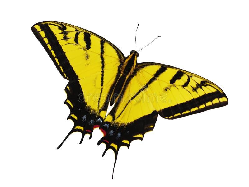 O amarelo brilhante dois-atou a borboleta do swallowtail isolada no fundo branco imagem de stock