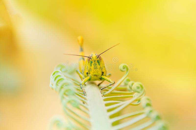O amarelo do gafanhoto no ramo das árvores com espaço da cópia adiciona o foco seleto do texto com profundidade de campo rasa imagem de stock royalty free