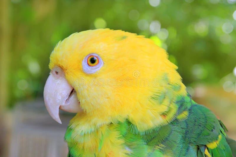 O amarelo do papagaio de Amazon dirigiu Oratrix fotografia de stock royalty free