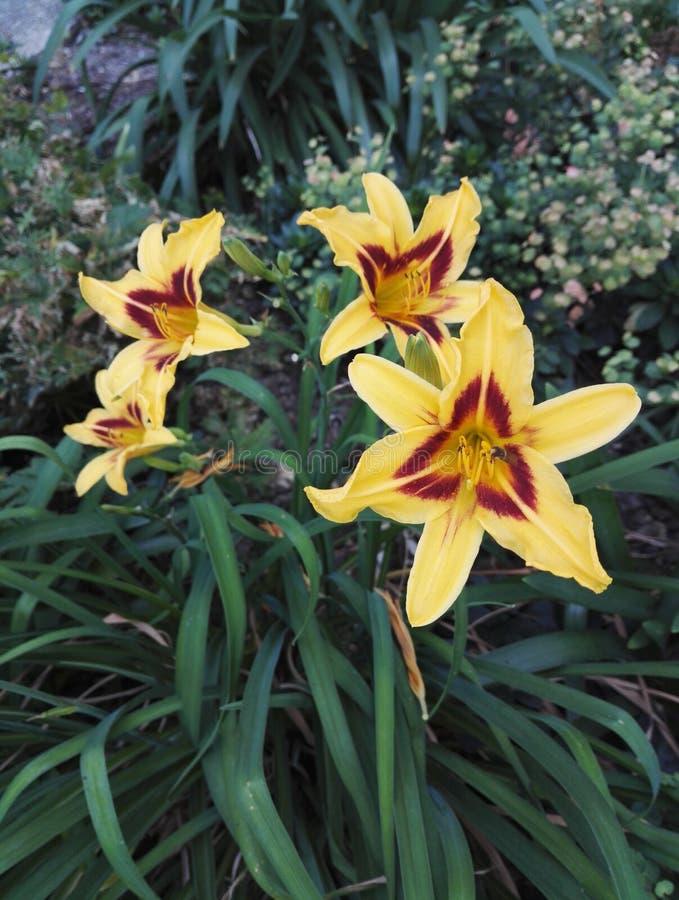 O amarelo e o vermelho magníficos do Hemerocallis do hemerocallis de dois tons visitaram por um inseto fotos de stock royalty free