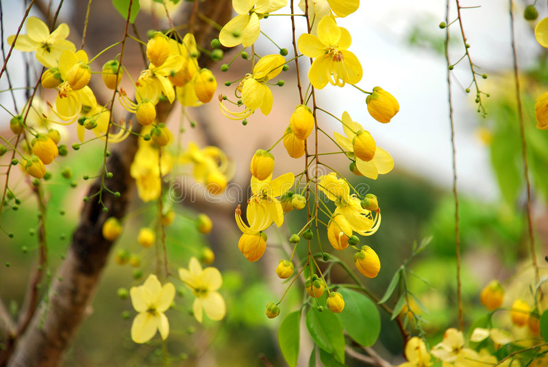 O amarelo floresce a árvore fotografia de stock royalty free
