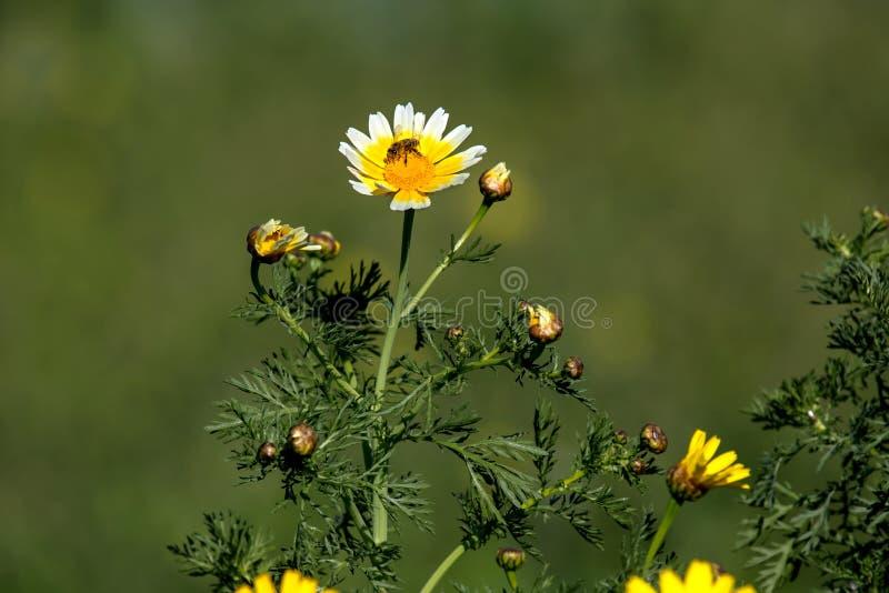 O amarelo floresce o coronarium do crisântemo e a abelha foto de stock