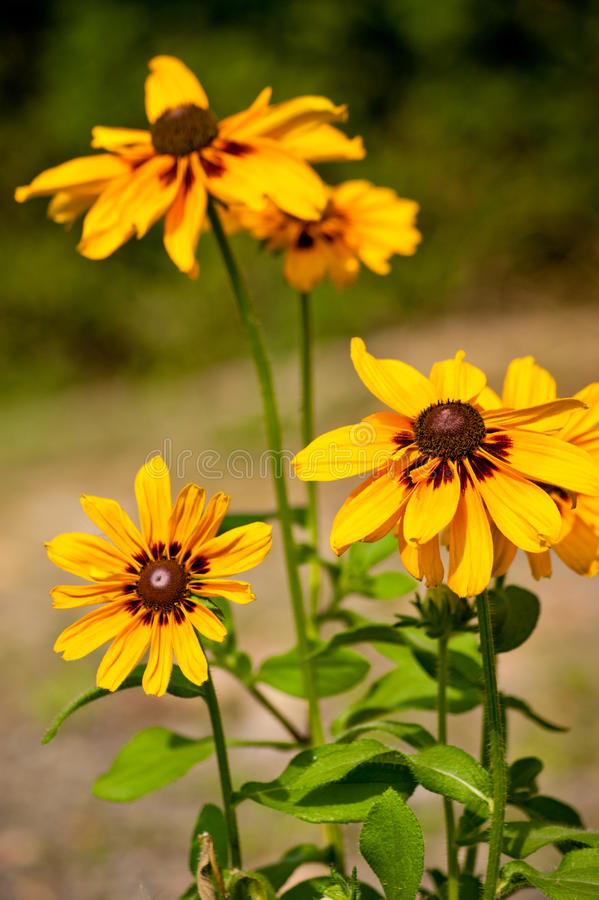O amarelo floresce Rudbekia foto de stock royalty free
