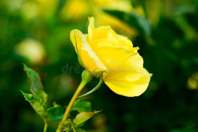 O amarelo levantou-se no campo verde fotos de stock