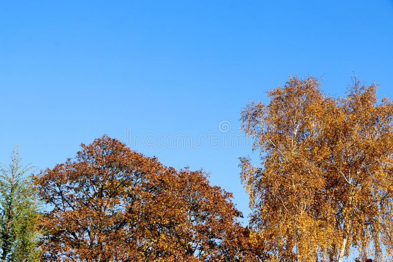 O amarelo sae contra um céu azul em uma manhã do outono fotos de stock