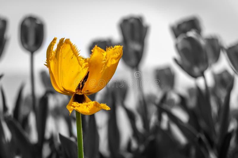 O amarelo seletivo coloriu a flor da tulipa com um fundo preto e branco imagem de stock