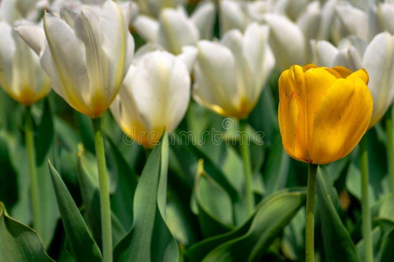 O amarelo seletivo coloriu a flor da tulipa com um grupo das tulipas brancas fotografia de stock royalty free