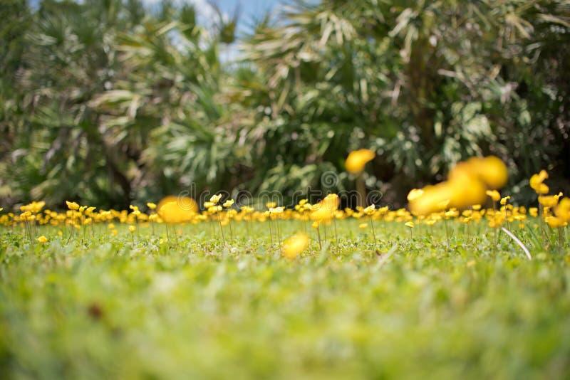 O amendoim constante igualmente amarela a flor do pintoi do amendoim imagem de stock