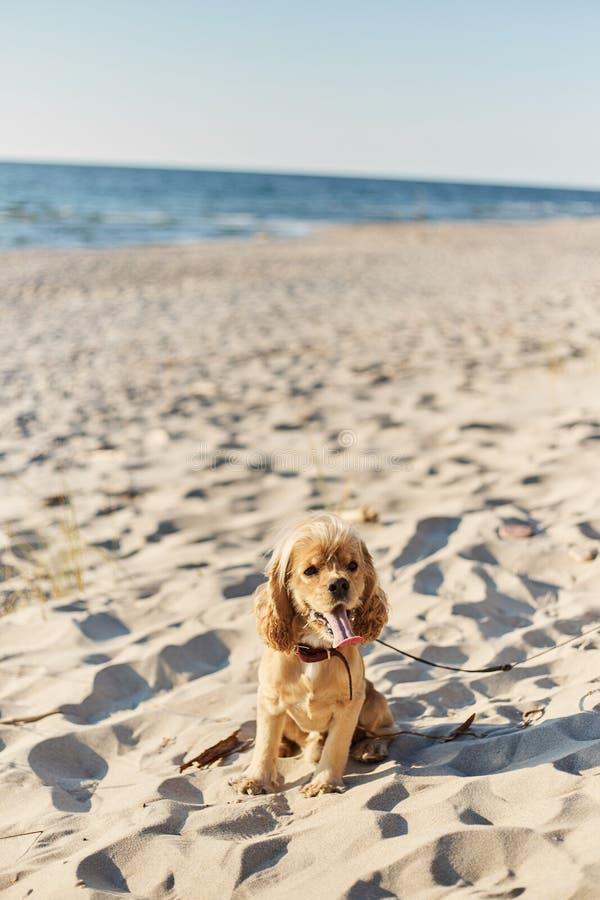 O americano dourado cocker spaniel com uma expressão feliz senta-se na praia foto de stock