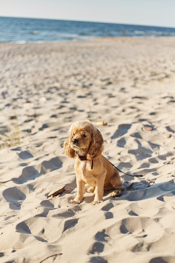 O americano dourado cocker spaniel com uma expressão feliz senta-se na praia foto de stock royalty free