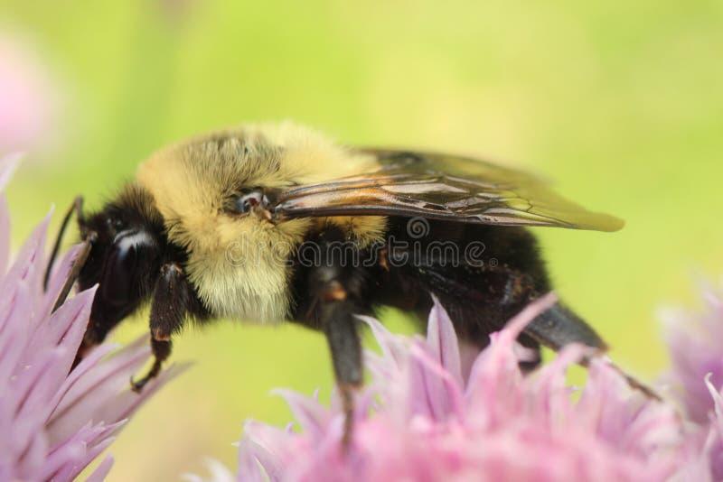O americano tropeça a abelha que forrageia em uma flor do cebolinho fotografia de stock