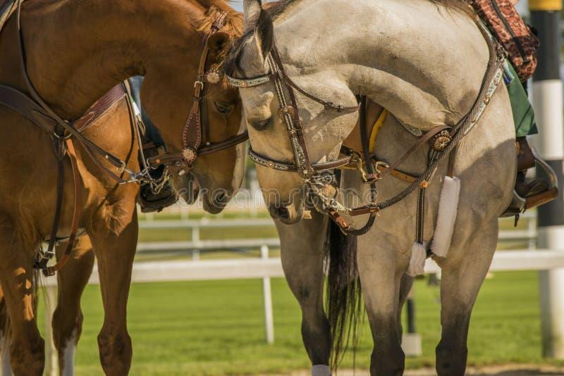 O amor dos cavalos fotografia de stock royalty free