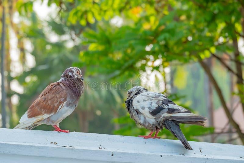 O amor verdadeiro de um par pombos que serão junto para sempre fotografia de stock royalty free