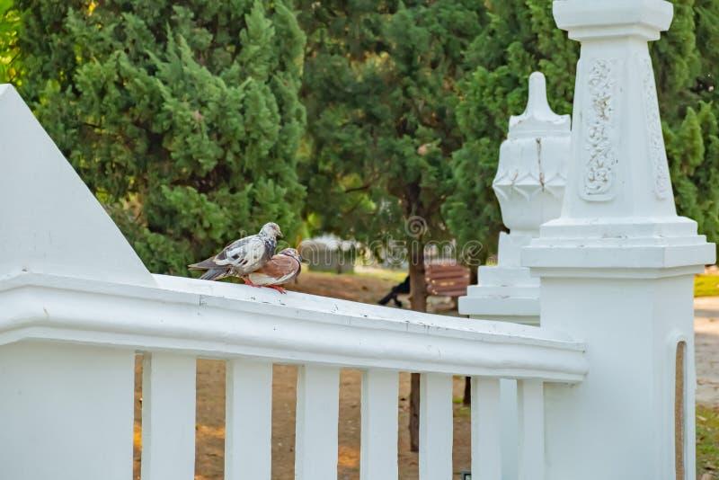 O amor verdadeiro de um par pombos que serão junto para sempre foto de stock