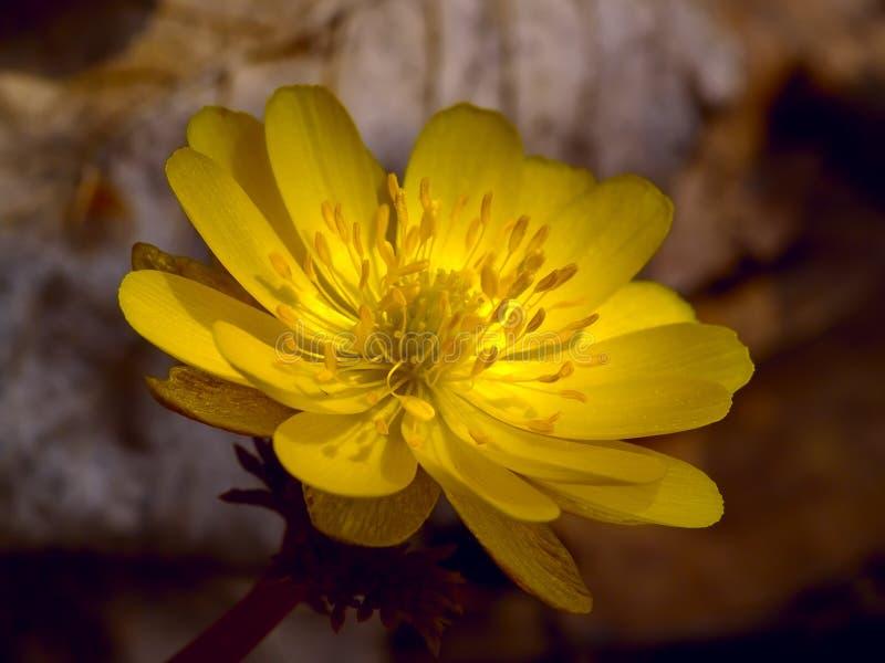 O amurensis de Adonis da flor da mola fotografia de stock royalty free