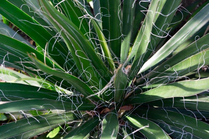 O anão rosqueou a planta de Filifera da agave da agave, a imagem do close up das folhas estreitas e as linhas brancas foto de stock royalty free