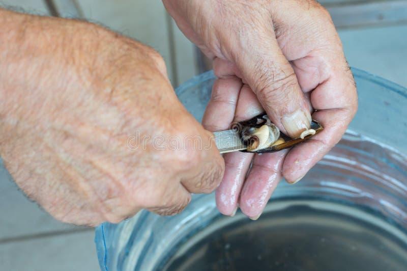 O ancião entrega o shell fresco de abertura do mexilhão com uma faca imagem de stock