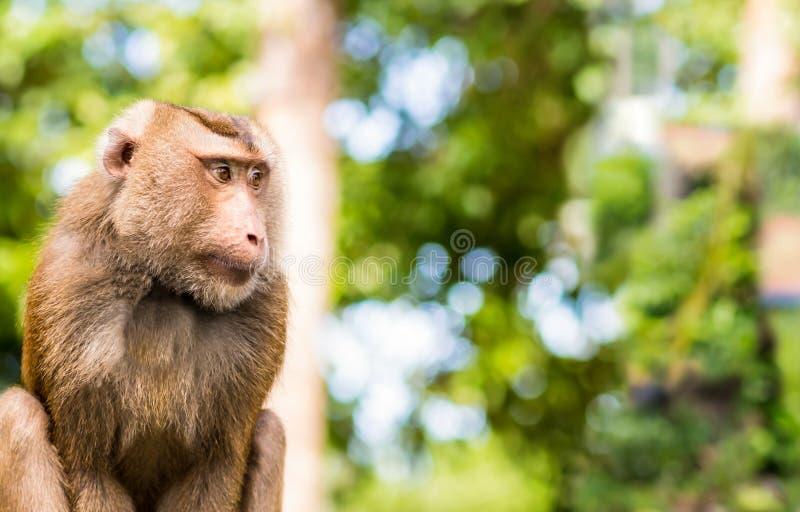 O animal bonito dos fascicularis Caranguejo-comer do macaque do retrato de Tailândia borrou a cópia tropical da base do cartão da imagens de stock