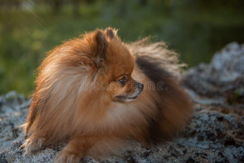 O animal de estimação doméstico, spitz vermelho que encontra-se nas pedras em um fundo verde girou seu perfil principal fotos de stock