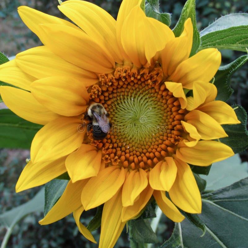 O annus amarelo grande do Helianthus do girassol com tropeça o Bombus spp da abelha fotografia de stock royalty free