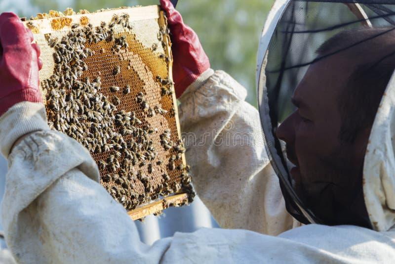 O apicultor está removendo o favo de mel no quadro de madeira para controlar a situação na colônia da abelha fotos de stock royalty free