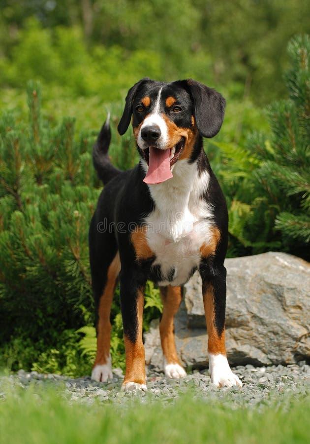 O Appenzeller Sennenhund imagens de stock royalty free