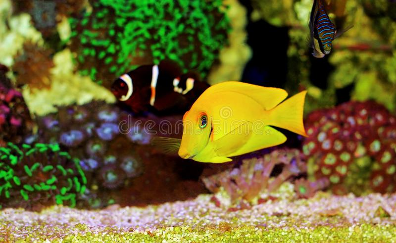 O aqu?rio do recife de corais da ?gua salgada pesca o grupo foto de stock