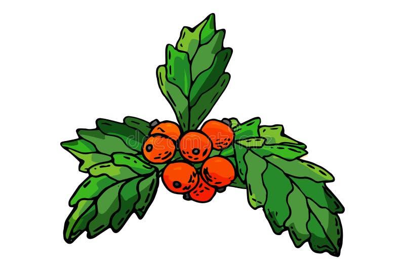 O aquifolium europeu do ilex do azevinho da baga do Natal sae e fruto Baga vermelha do Natal da decoração do inverno do xmas do r ilustração stock