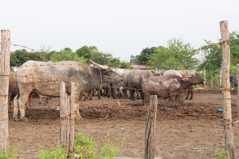 O arame farpado foi usado para quarantine animais imagens de stock