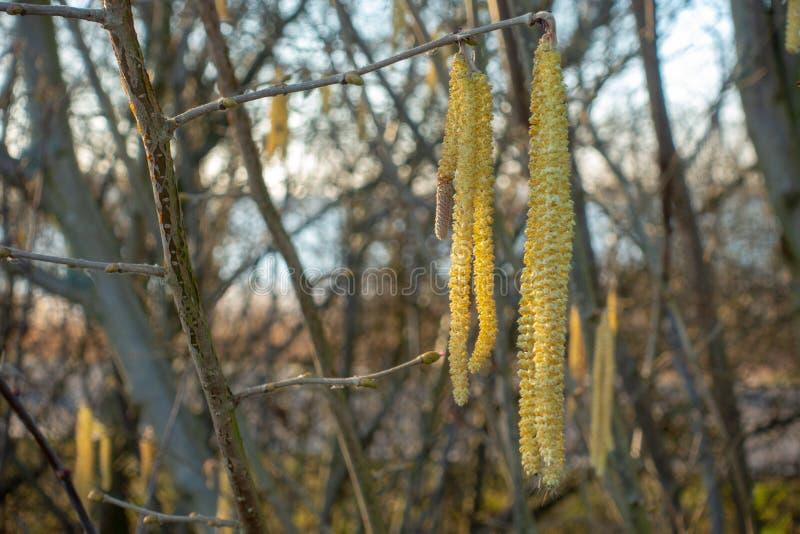 O arbusto da avelã começa a florescer imagem de stock