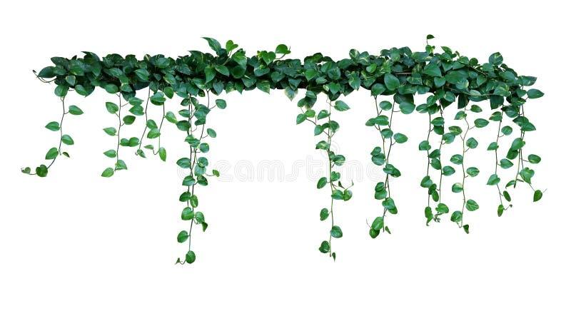 O arbusto da planta com as videiras de suspensão de variegated verde coração-dado forma sae do aureum do Epipremnum da hera do di fotos de stock