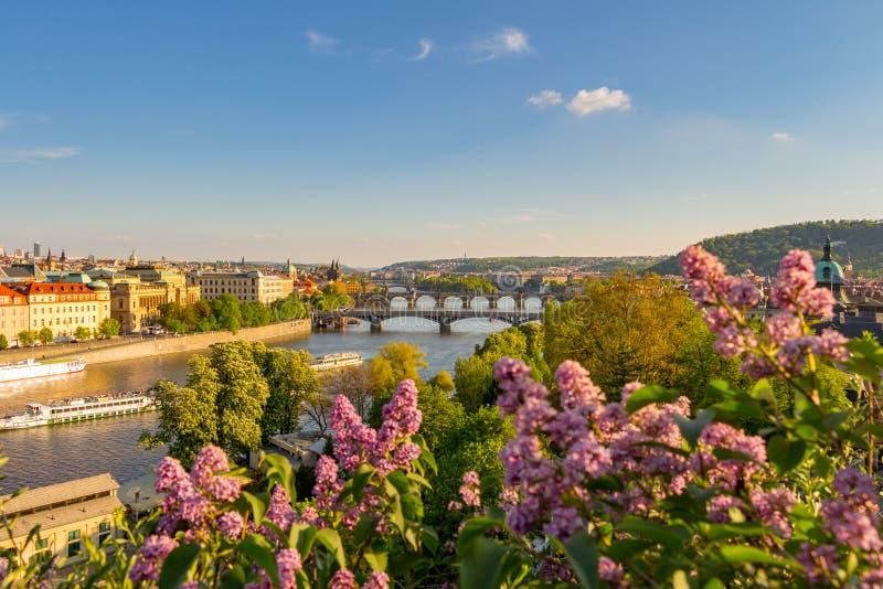 O arbusto de florescência do lilás contra o rio de Vltava e a ponte de Charles, Praga fotos de stock