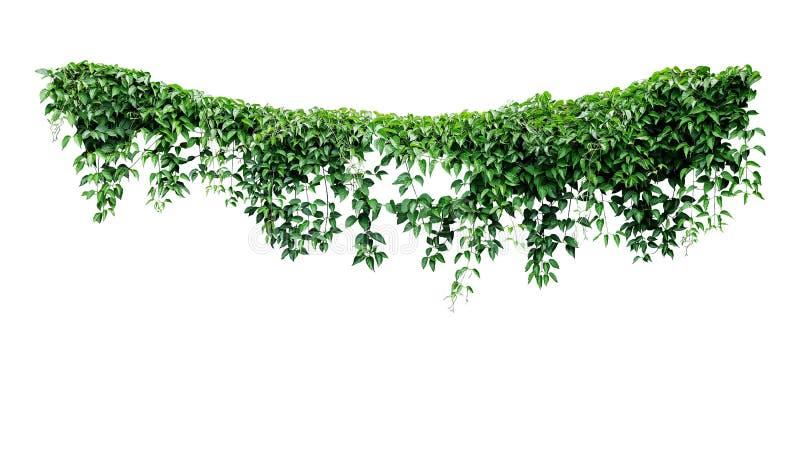 O arbusto de suspensão da selva da folha da hera das videiras, coração deu forma às folhas verdes que escalam o contexto da natur fotos de stock