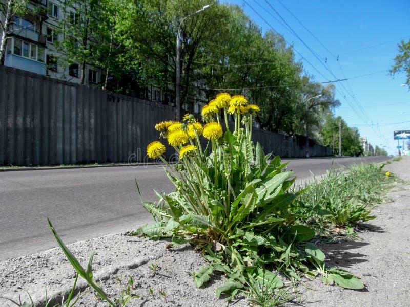 O arbusto novo bonito luxúria do taraxacum com lotes de flores ensolaradas amarelas cresce no lado da estrada fotografia de stock