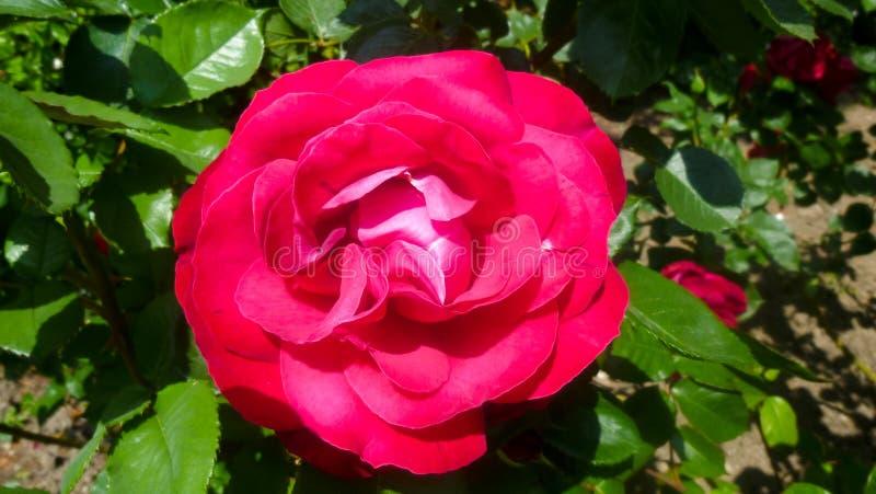 O arbusto vermelho aumentou Flor Bush de Rosa fotos de stock