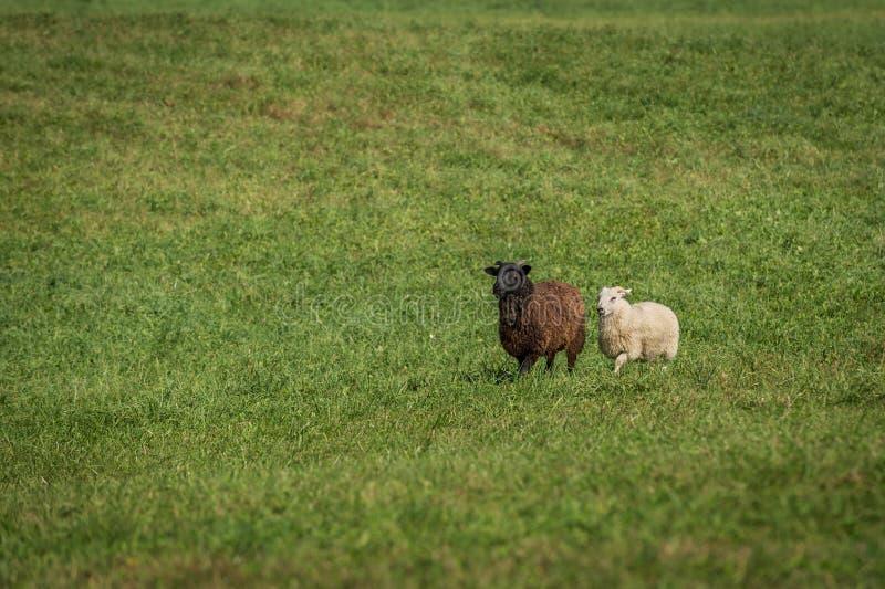 O aries do Ovis das ovelhas negras e os carneiros brancos andam dentro fotografia de stock