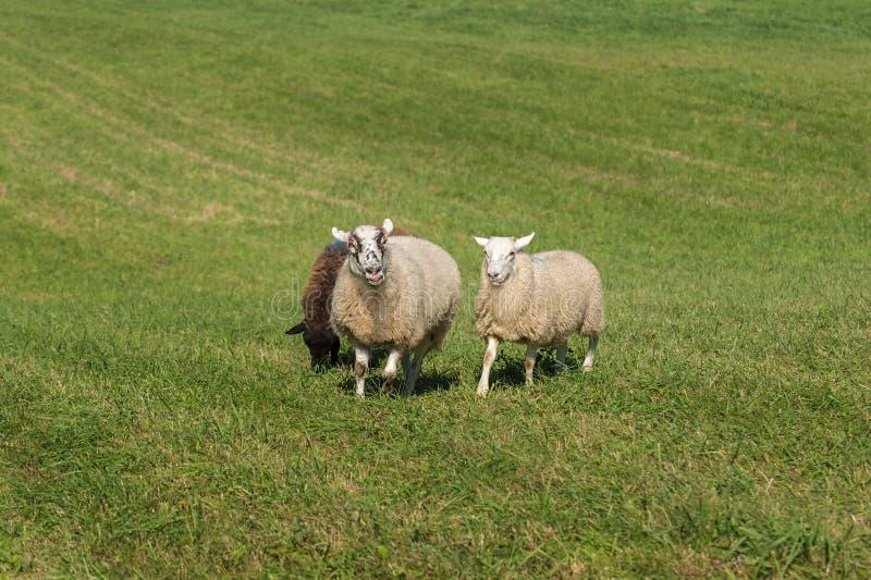 O aries do Ovis dos carneiros Tongues para fora imagem de stock