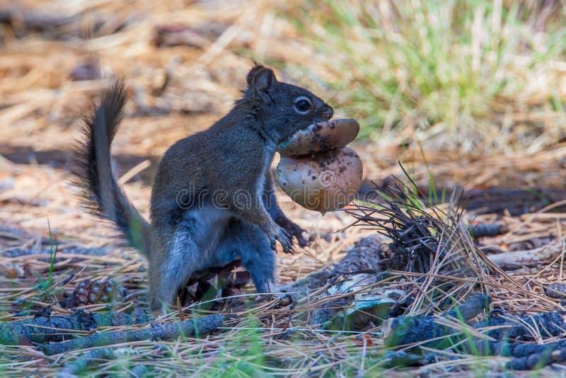O Arizona Gray Squirrel fotografia de stock