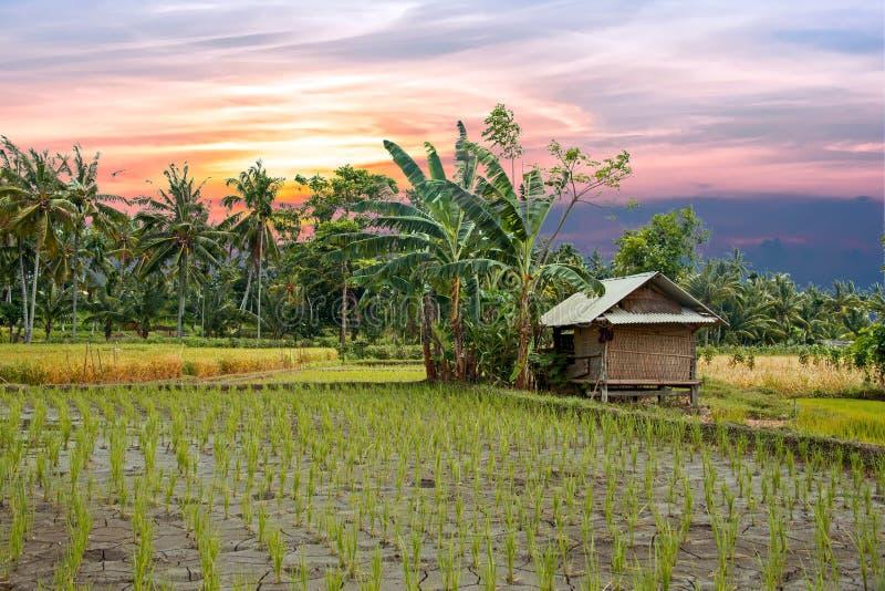 O arroz coloca em Lombok em Indonésia no por do sol imagem de stock royalty free