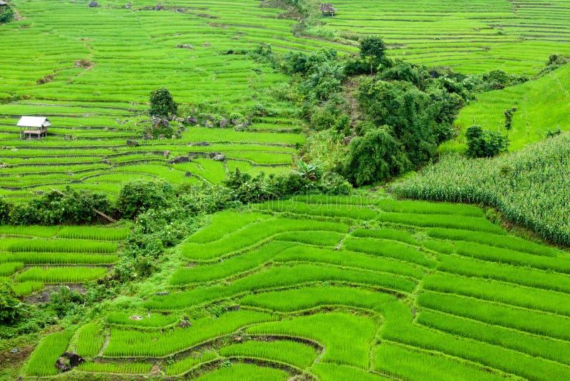 O arroz coloca em terraced de MU Cang Chai, YenBai, Vietname Arroz f imagens de stock royalty free