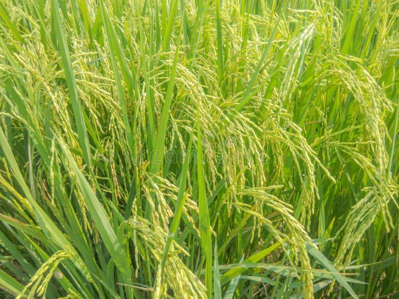 O arroz coloca perto das cores da colheita fotos de stock royalty free