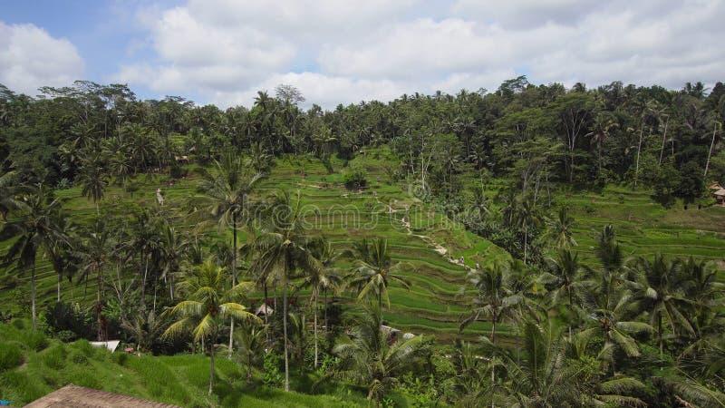 O arroz do terraço coloca em Ubud, Bali, Indonésia imagem de stock royalty free