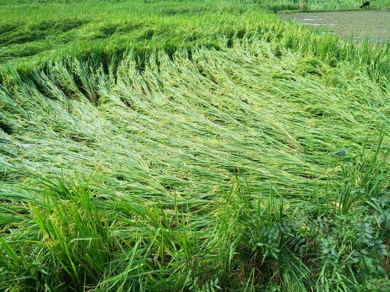 O arroz olha muito agradável para ver fotos de stock royalty free