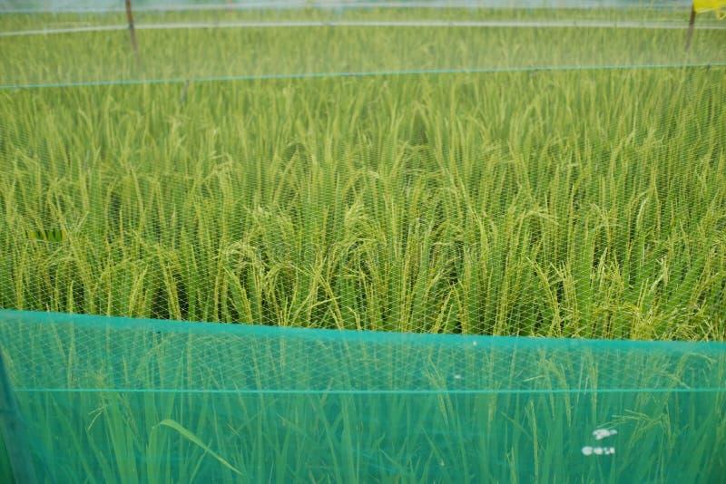 O arroz rapidamente preparado é colhido, protegido por um tipo da rede para evitar o ataque de caçadores da semente do arroz imagens de stock royalty free