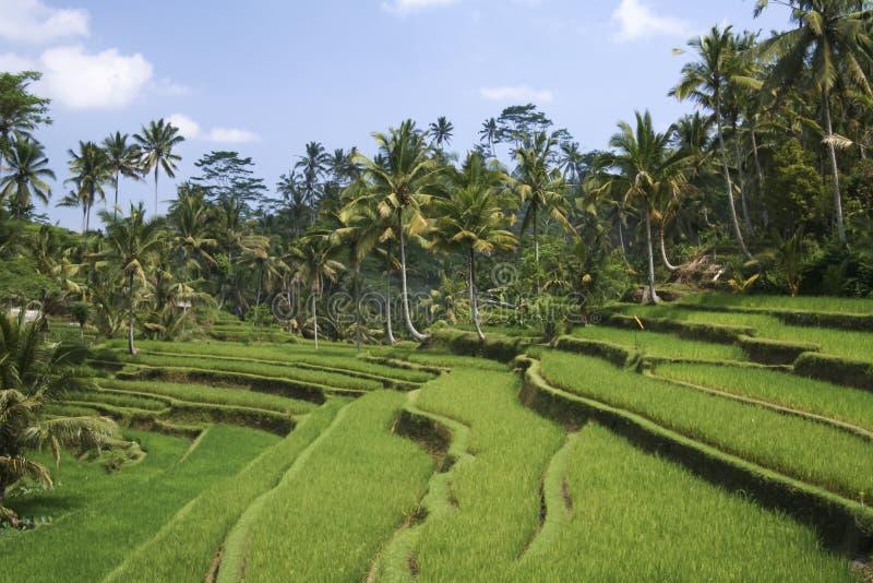 O arroz terraced verde luxúria coloca o ubud bali fotografia de stock