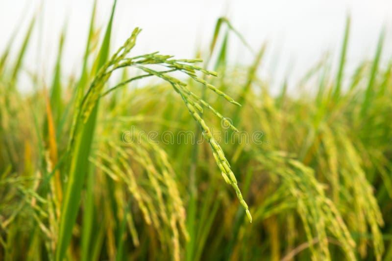 O arroz verde no campo fotografia de stock royalty free