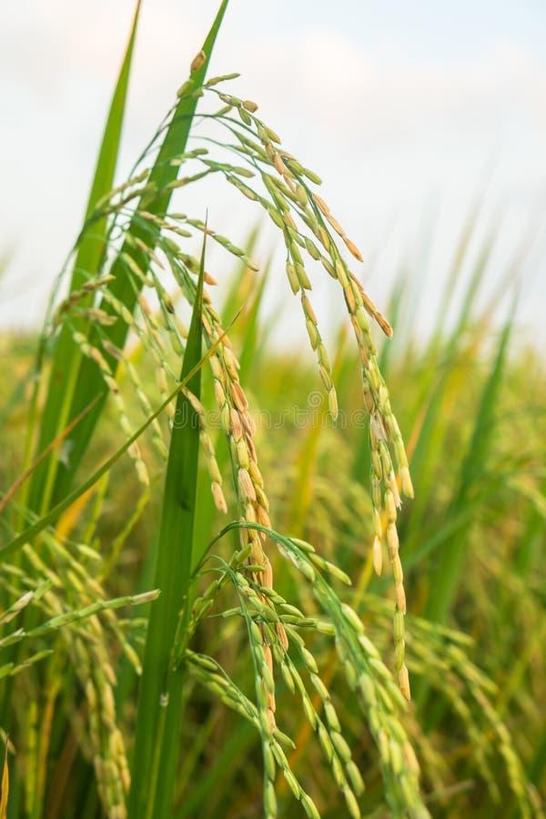 O arroz verde no campo fotografia de stock