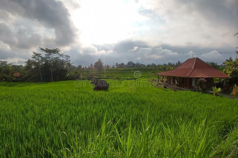 O arroz verde rico pisou campos Terra?os tradicionais do arroz do Balinese Casa de madeira no direito e selvas no fundo fotos de stock royalty free