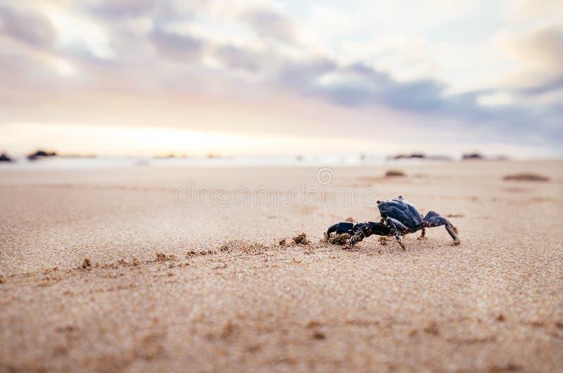 O artrópode engraçado do caranguejo olha no nascer do sol no tempo do amanhecer foto de stock